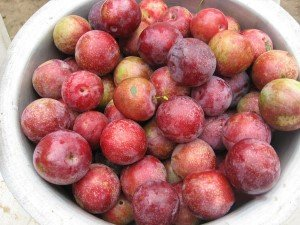Ripe plum harvest at Hasera Farm